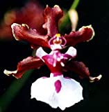 Sharry Baby, the Chocolate Orchid - nice seedling
