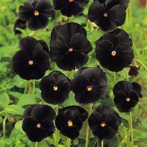 Outsidepride Pansy Black - 1000 Seeds