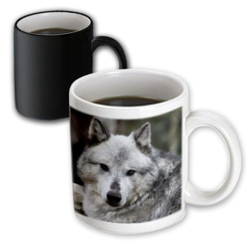 3Drose Gray Wolf Looking Straight At You, Magic Transforming Mug, 11-Ounce