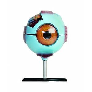 Amazon.com: American Educational Eye Model: Industrial & Scientific