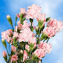 300 Stems of Fresh Cut Pink Spray Carnations | 1200 Blooms | Fresh Flowers Express Delivery | Perfect for Birthdays, Anniversary or any occasion.