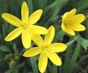 10 yellow eyed grass ornamental sisyrinchium for Ornamental grass with yellow flowers