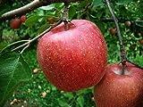 減農薬栽培 木で完熟のりんご 味自慢のふじ 5kg ランキングお取り寄せ