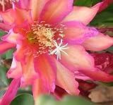 Epiphyllum 'Dragonheart' Cutting
