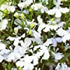 LOBELIA - TRAILING - WHITE LADY - 3000 FLOWER SEEDS