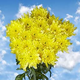 72 Fresh Cut Yellow Chrysanthemum Cushion Flowers | Fresh Flowers Express Delivery | Perfect for Birthdays, Anniversary or any occasion.