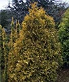 Thuja occidentalis Sunkist In 9cm Pot - Dwarf Conifer