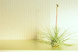 Hinterland Trading Air Plant Argentea Tillandsia Sweet Little Houseplant