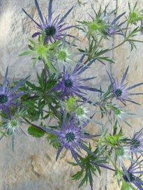 Eryngium 100 Flowers