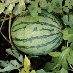 Buy Watermelon Jenny Hybrid – Park Seed Watermelon Seeds