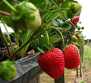 Amazon.com : Eversweet Everbearing Strawberry Seed Pack