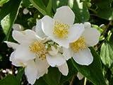 Duftjasmin - Philadelphus Eretus - Jasmin Gartenjasmin von Native Plants