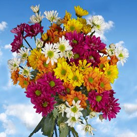 Premium Assorted Chrysanthemums Daisies Flowers | Pom Poms Assorted Daisy 72 Flowers