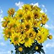 72 Fresh Cut Yellow Chrysanthemum Daisy Flowers | Fresh Flowers Express Delivery | Perfect for Birthdays, Anniversary or any occasion.