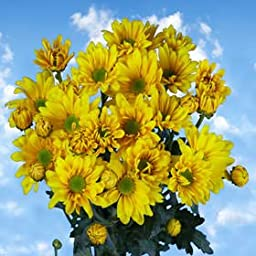 36 Fresh Cut Yellow Chrysanthemum Daisy Flowers | Fresh Flowers Express Delivery | Perfect for Birthdays, Anniversary or any occasion.
