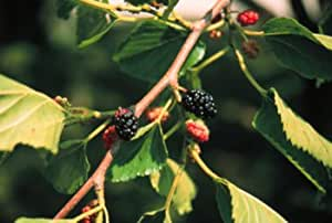 Morus rubra: Red or American Mulberry Seeds