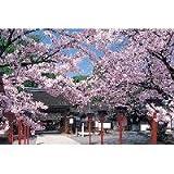 パズル 桜こぼれる平野神社 101165