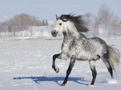 Grey Andalusian Stallion Trotting in Snow, Longmont, Colorado