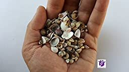 Two Pounds of Tiny Shells from the Indian Ocean