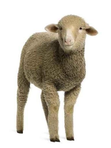 Animal Wall Decals Merino Lamb - 24 Inches X 18 Inches - Peel And Stick Removable Graphic front-772309