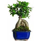 Brussel's Gensing Grafted Ficus Bonsai