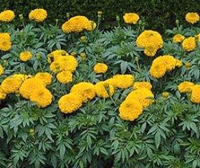 Bobby-Seeds Tagetessamen Sierra Gold, hohe Studentenblume Portion