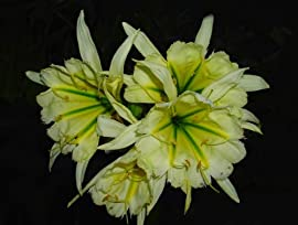 'Sulphur Queen' Peruvian Daffodil Bulb 13cm+ - Ismene - Fragrant