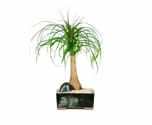 Brussel'S Ponytail Palm Bonsai front-902721