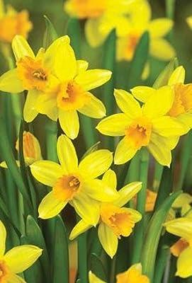 "100 x Narcissus "" Tete a Tete "" - Spring Flowering Dwarf Rockery Bulbs - Free UK P & P"