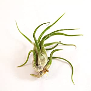 Air Plants - Tillandsia Caput Medusae - 3 Exotic Air Plants