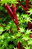 CORAL BARK JAPANESE MAPLE Acer palmatum 'Sango Kaku' 2 - Year Graft brilliant Red Bark is bright red, Year round beauty with a spectacular range of leaf colors