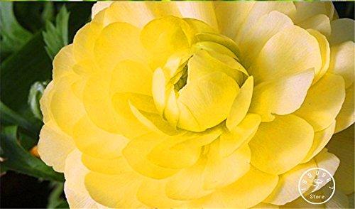 nuovi-semi-freschi-10-pcs-lot-ranunculus-semi-di-fiori-per-la-casa-e-le-piante-di-giardino-fai-da-te