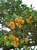 Apricot tree 'Bergeron' / Prunus armeniaca 'Bergeron'