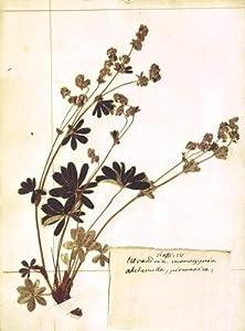 Alchemilla, from a Herbarium
