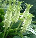 WHITE pineapple lily (Eucomis ' Tugela Jade') (2 seeds) Fragrant & exotic