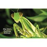 Praying Mantis 2 Egg Cases 100 - 400 Babies with Hirt's Hatching Habitat