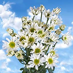 36 Fresh Cut White Chrysanthemum Daisy Flowers | Fresh Flowers Express Delivery | Perfect for Birthdays, Anniversary or any occasion.