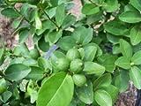 TreesAgain Key Lime Tree - Citrus × aurantiifolia - starter plug