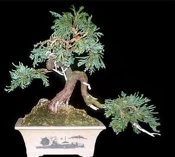 Buy Port-Orford Cedar Tree 25 Seeds – Evergreen Tree/Bonsai – FREE SHIPPING ON ADDITIONAL HIRTS SEEDS ORDERED AND PAID WITH ONE PAYMENT