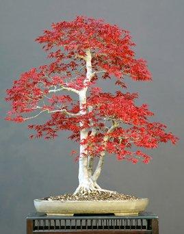 acer-palmatum-atropurpureum-20-graines