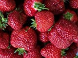 Multiplex Everbearing Strawberry Fruit Plant Seed 100 Stratisfied Berry Plant Seeds