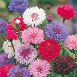 CORNFLOWER - POLKA DOT MIX - 500 FINEST SEEDS - ANNUAL