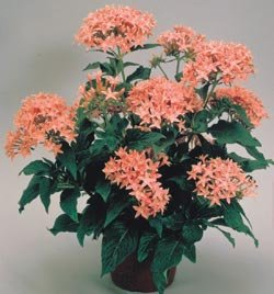 Buy Pentas New Look Pink – Park Seed Pentas Seeds