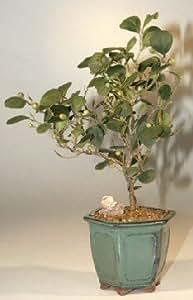 Mistletoe Fig Bonsai Tree<br>(ficus diversifolia)