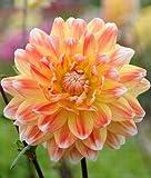Dahlia Peaches & Cream x 2 Tubers