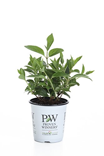 Proven Winners Pinky Winky Hardy Hydrangea (Paniculata) Live Shrub, White and Pink Flowers, 4.5 in. (Pinky Winky)