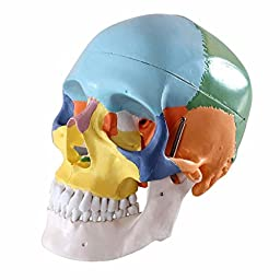 Wellden Anatomical Skull Model, Didactic Color Painted, 3-Part, Life Size