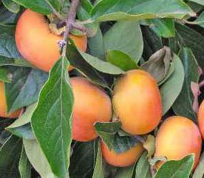 Fuyu Japanese Persimmon Tree