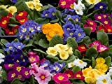PRIMROSE - CROWN MIXED - 75 FLOWER SEEDS
