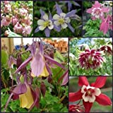 Aquilegia (Columbine) Collection - 6 Plant Collection